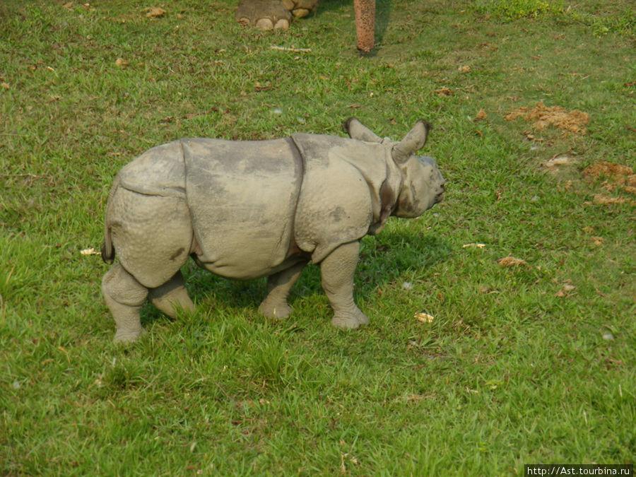 Белый носорог. Этот зверь уже давно в Красной книге.
