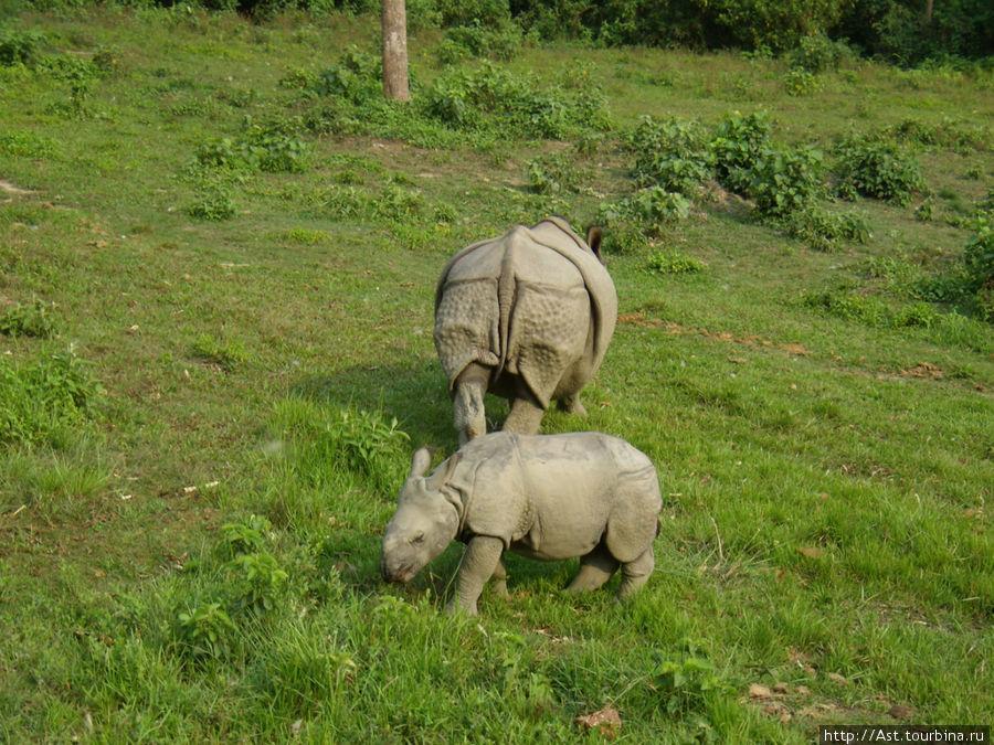 Семейство белых носорогов.