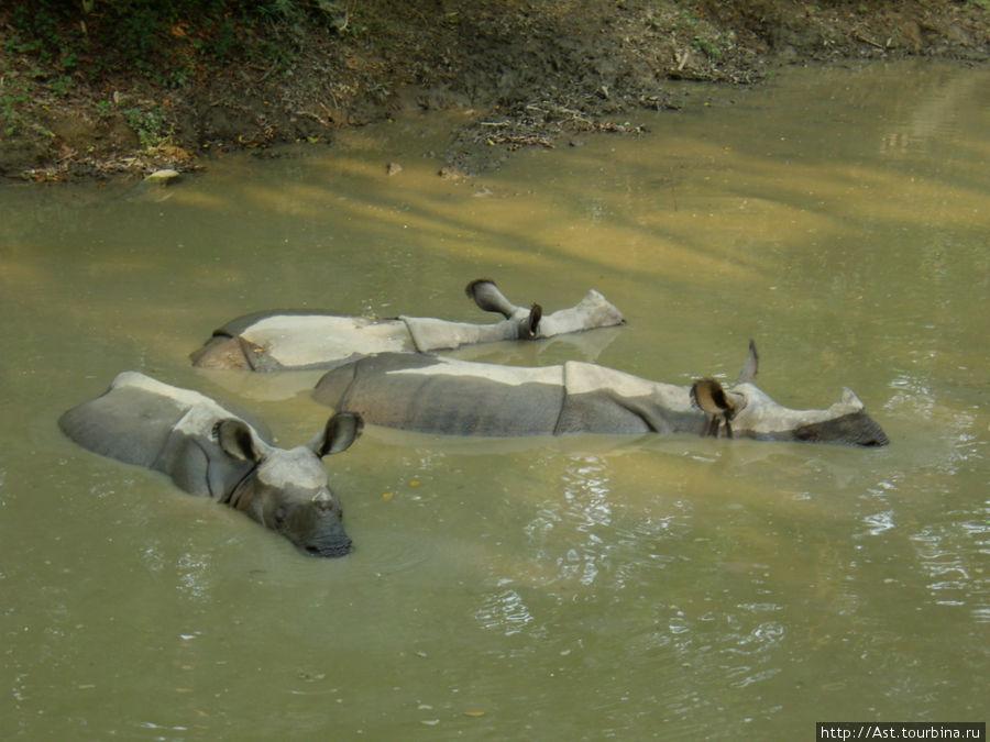 Носороги, они не зря родственники наших домашних поросят!