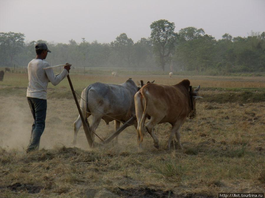 Обработка земли старым дедовским методом. Корова --- священное животное, но на буйволе можно пахать.