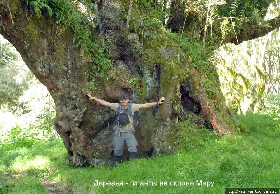 Деревья гиганты на склоне Меру