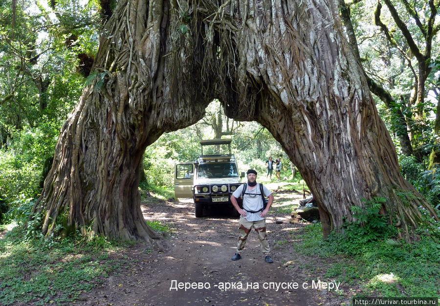 Дерево-арка на спуске с Меру