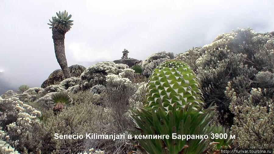 Это последний из гигантских Dendrosenecio Kilimanjari, встреченных нами в лагере Барранко на высоте 3900 м. На большей высоте они уже не растут.