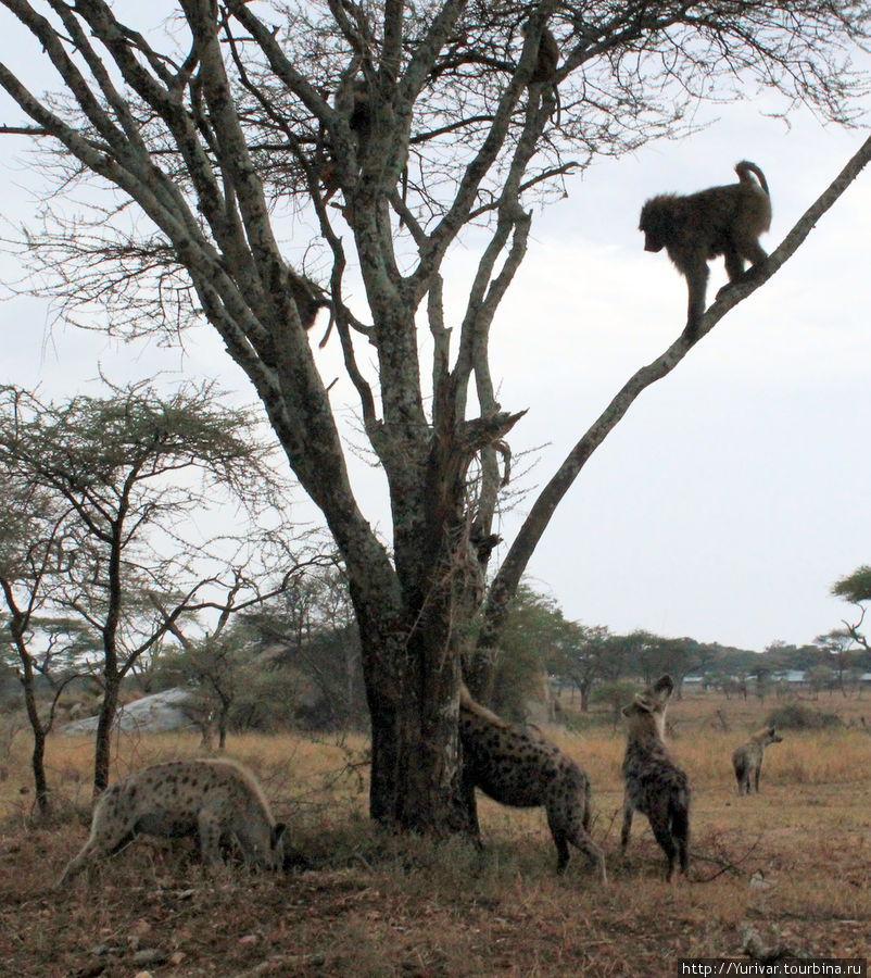 Охота гиен на бабуинов
