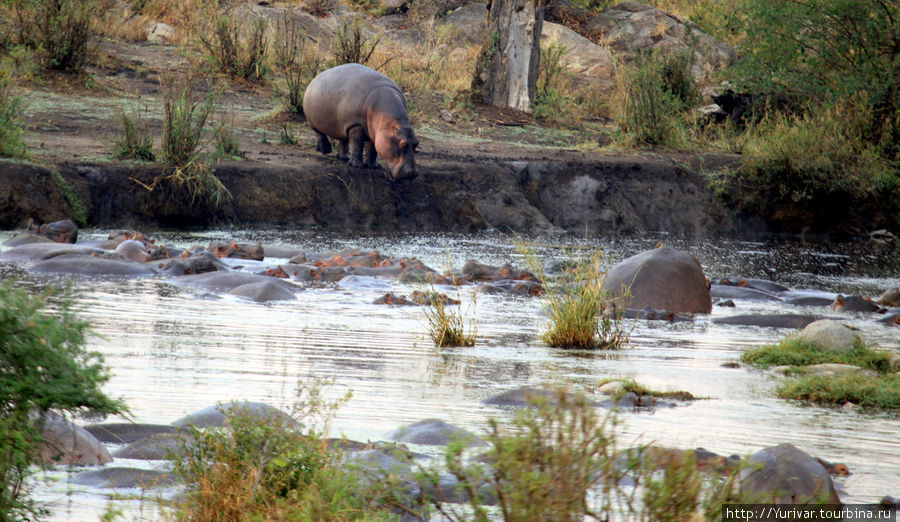 Утреннее купание бегемотов