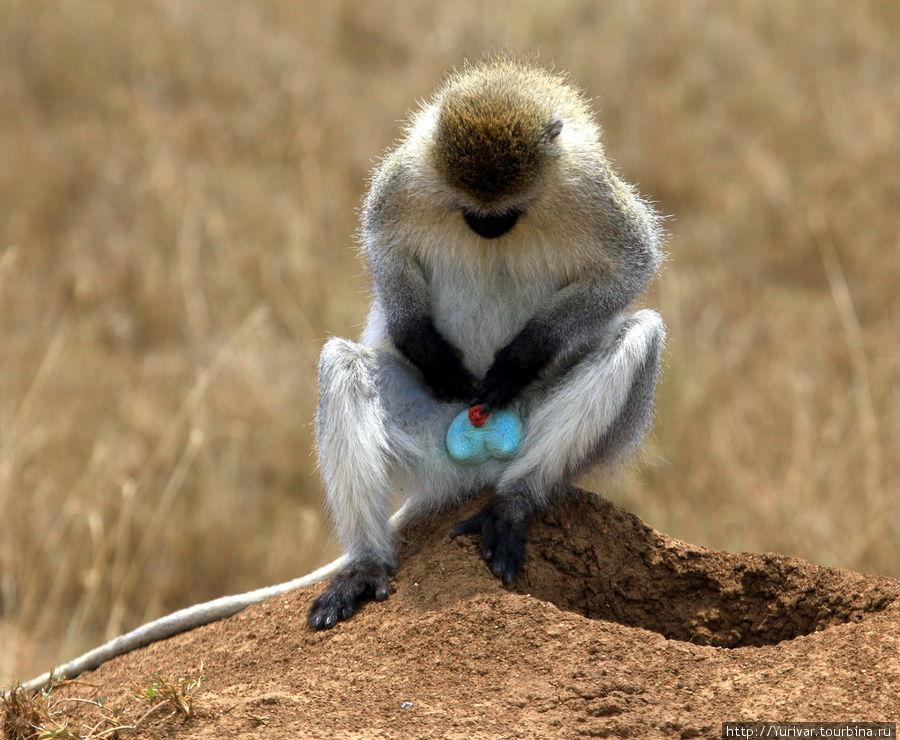 Это обезьяна верветка из семейства мартышковых. Самец обладает вот таким ярким богатством.