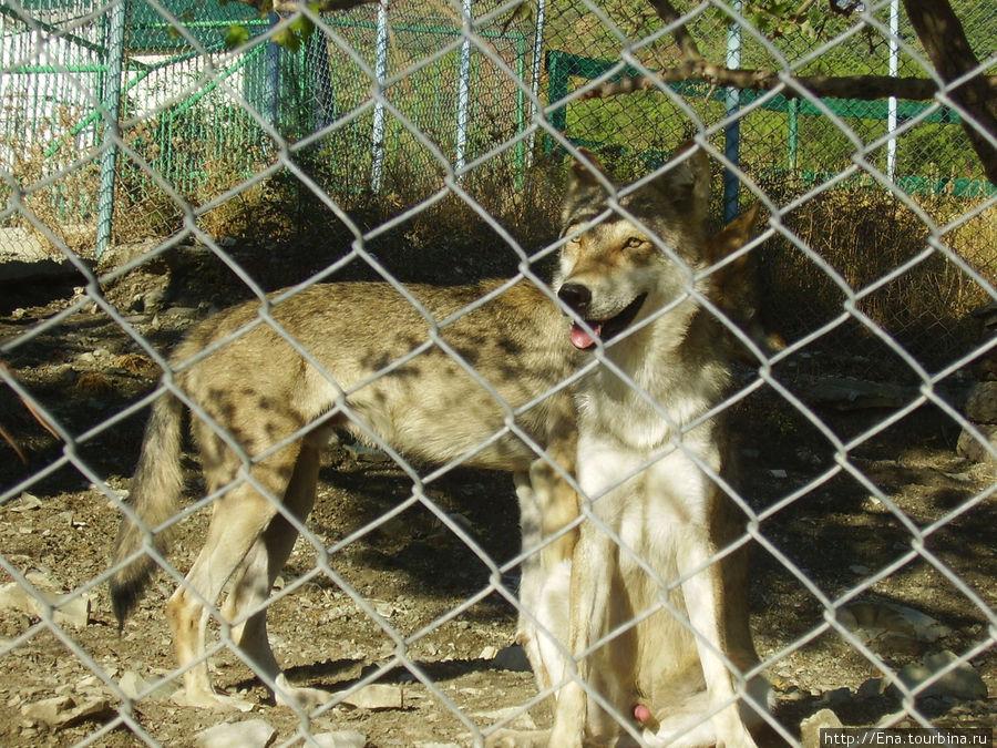 Экскурсия в Геленджик. Сафари-парк. Волк