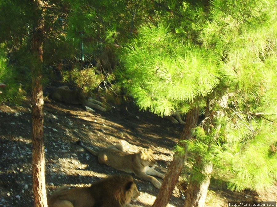 Экскурсия в Геленджик. Сафари-парк. Семейство кошачьих