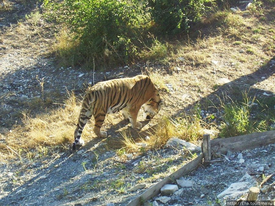 Экскурсия в Геленджик. Сафари-парк. Тигр в поисках корма