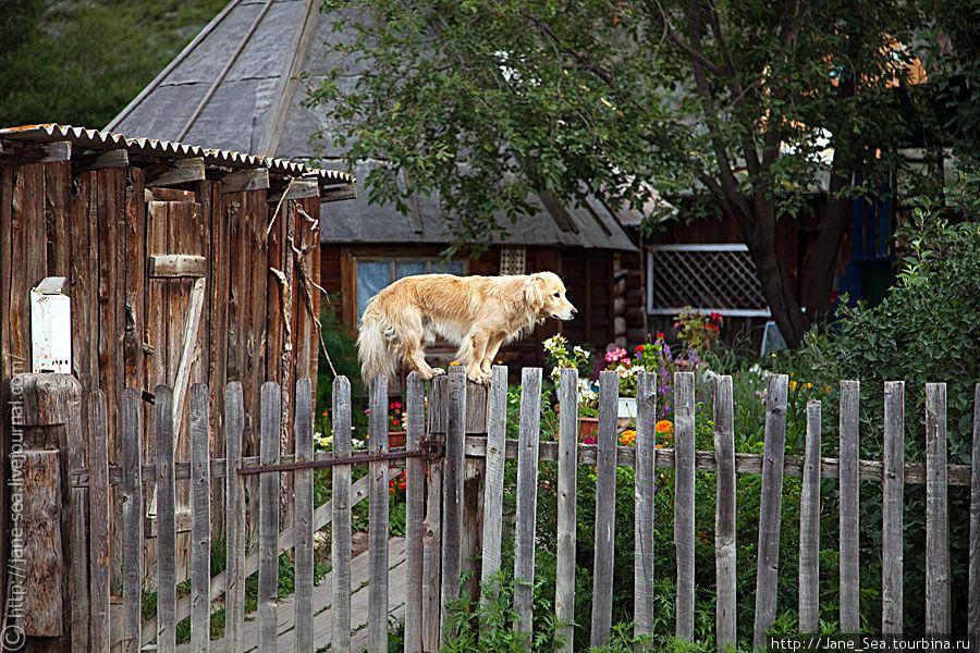 надзаборный пес :)