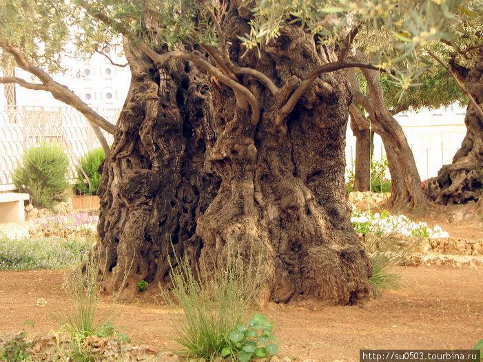 Масличные деревья, ровесн