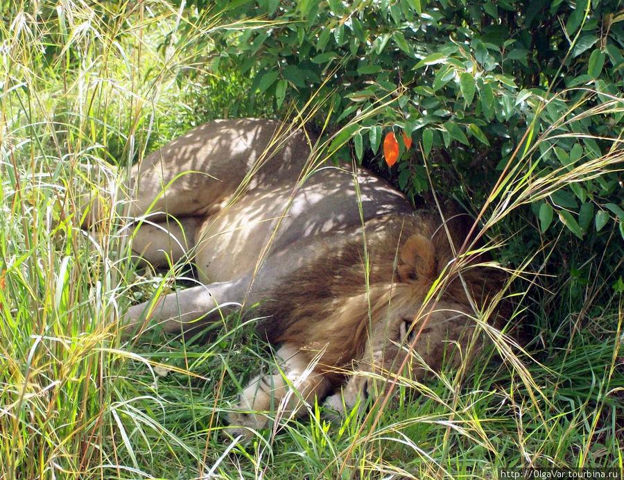 Лев тихо-мирно себе отдыхал...