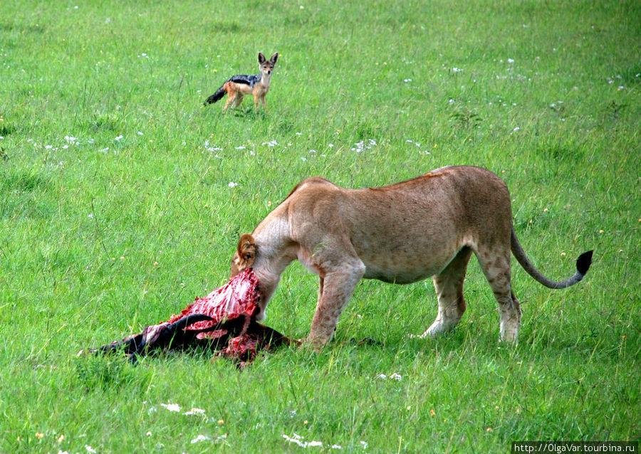 Ненасытное животное — наверняка так думает шакаленок
