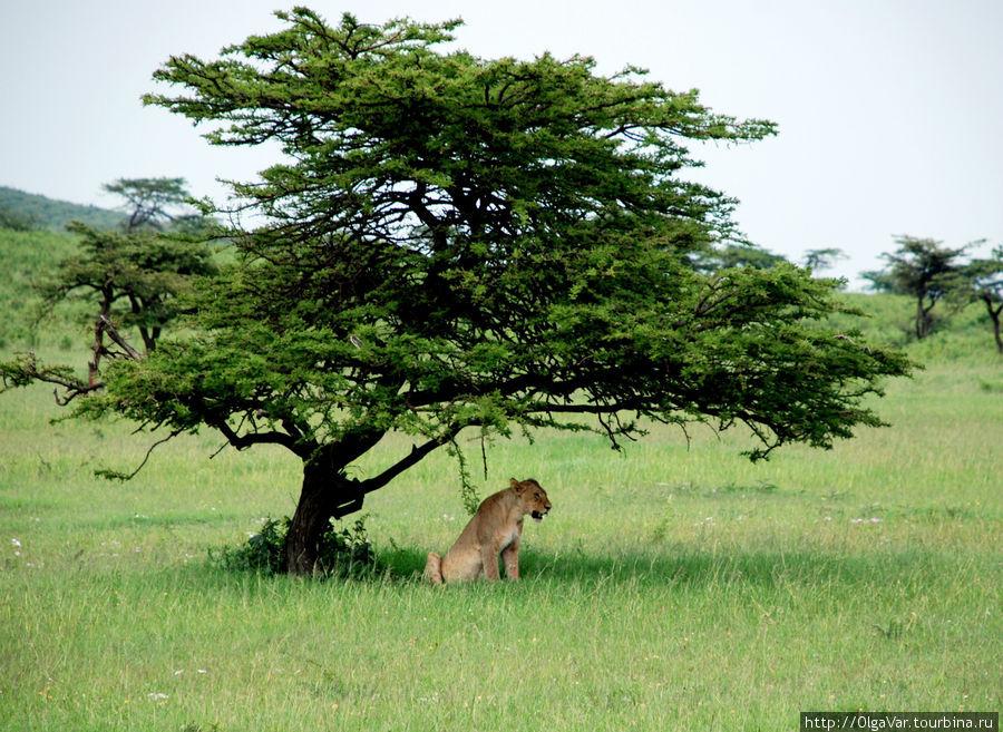 Если кусты далеко, надо укрыться под деревом