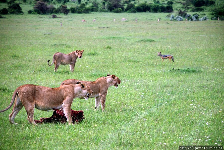 Будни африканских львиц