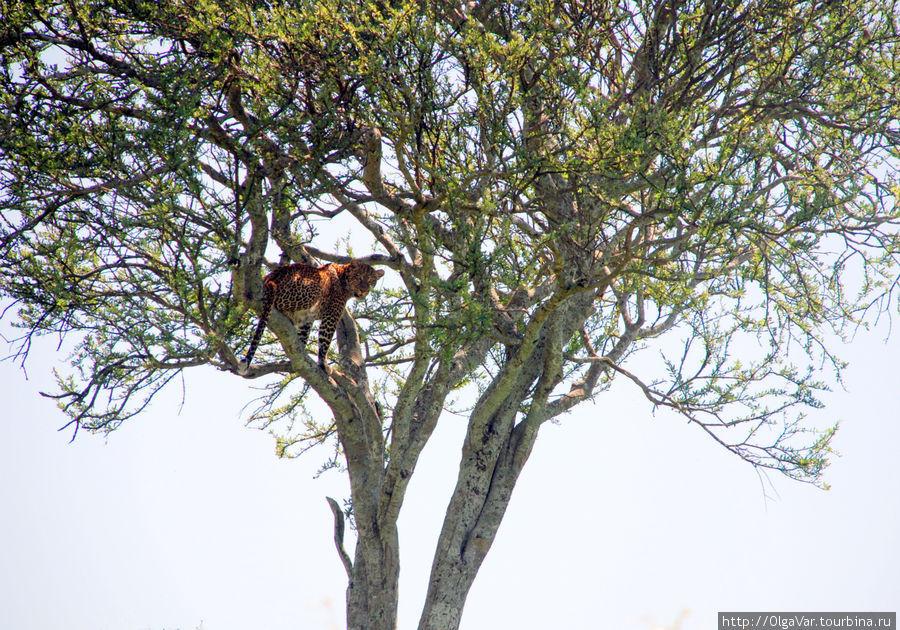 Сложнее всего найти леопарда...