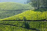 Этот характерный холмик с деревьями сверху висит во всех туристических агенствах Муннара, да и Кералы. Ради этих фото стоило съездить в Кералу.