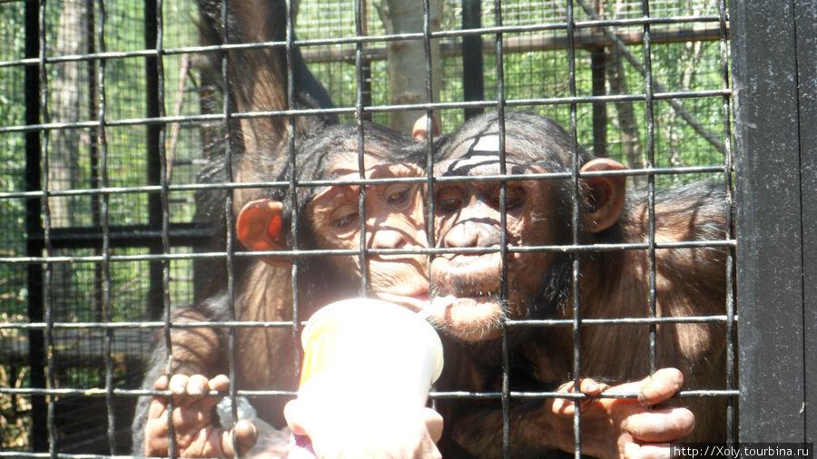 Шимпанзе собрали толпу народа у своего вольера и баловались предложенным напитком.