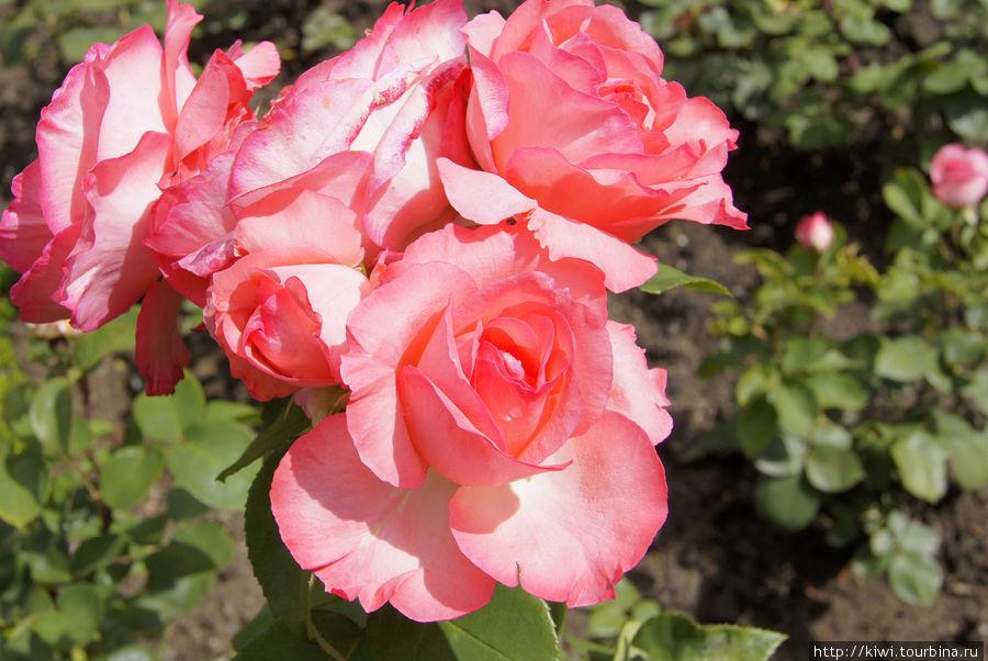 Роза Аахенский собор