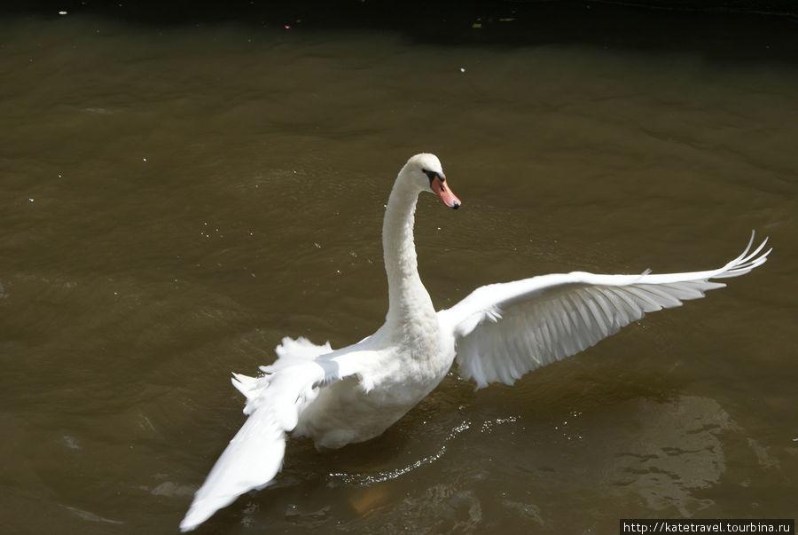 Агрессивно настроенный лебедь в одном из каналов