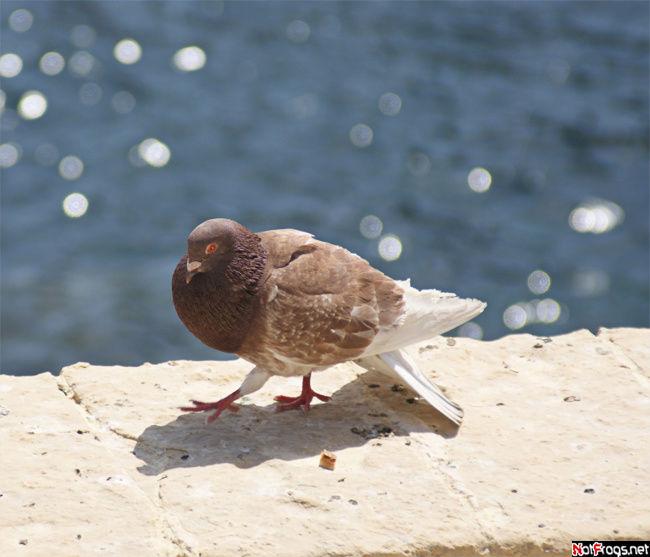 Один из жирных и наглых мальтийских голубей
