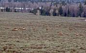 пасутся элки, так здесь называют оленей