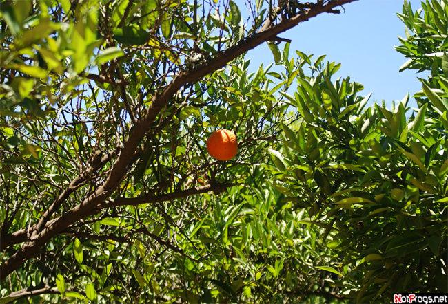 В апельсиновом саду