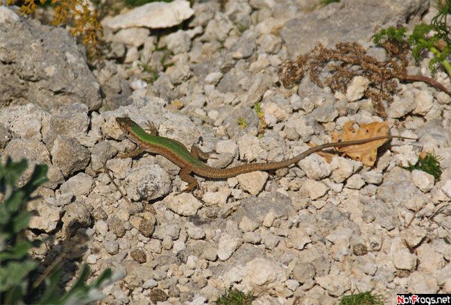 Одна из многочисленных ящериц на Комино