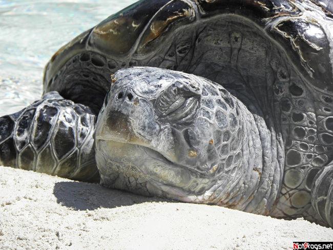 Черепахи — наша слабость!