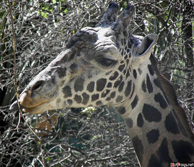 Белый жираф с синим языком