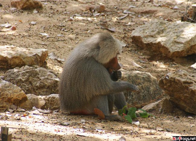 Кушающий бабуин