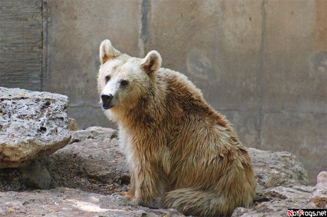 Грустный сирийский бурый медведь
