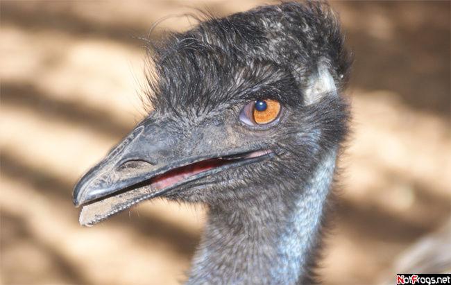 Наглый страус
