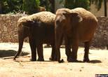 Парочка индийских слонов