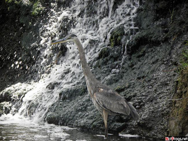 Цапля и водопад — звучит как название басни Крылова