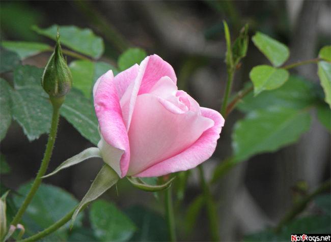 В саду из роз