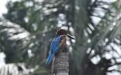 У тех видов зимородков, чья главная пища  — рыба, отмечают крепкий длинный клюв (наш случай!). Похоже, он присматривает добычу, усевшись на спил кокосовой пальмы, и на нас не обращает никакого внимания.