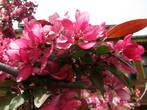 И майский цвет стамбульских райских яблонь.