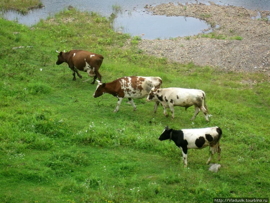 Коровы здесь очень живопи