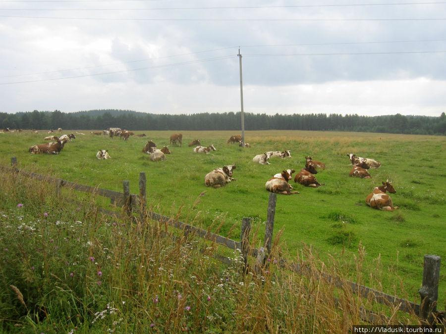 Снова коровки!