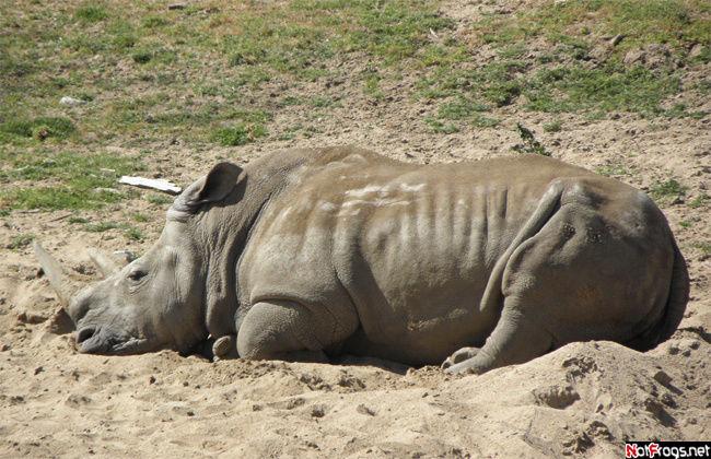 Носорог на отдыхе