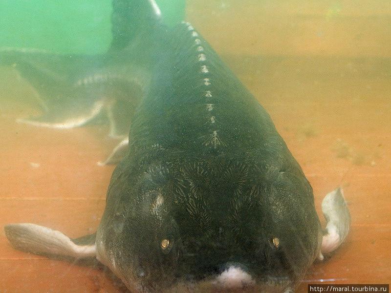 Рыбы Волги. Белуга