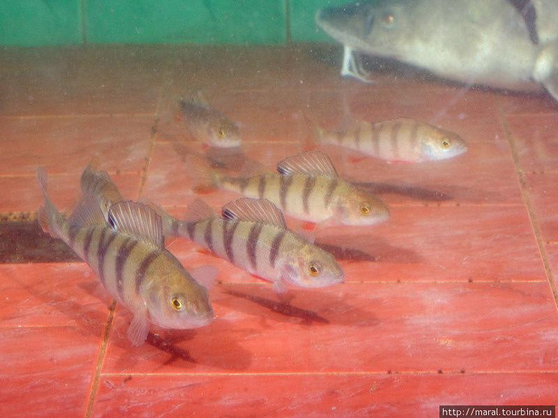 Ничуть не хуже экзотических рыб наши окуни