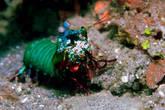 Креветка-богомол (mantis shrimp) :