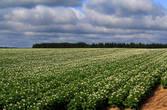 Цветущие поля картошки. Банально, но красиво :)
