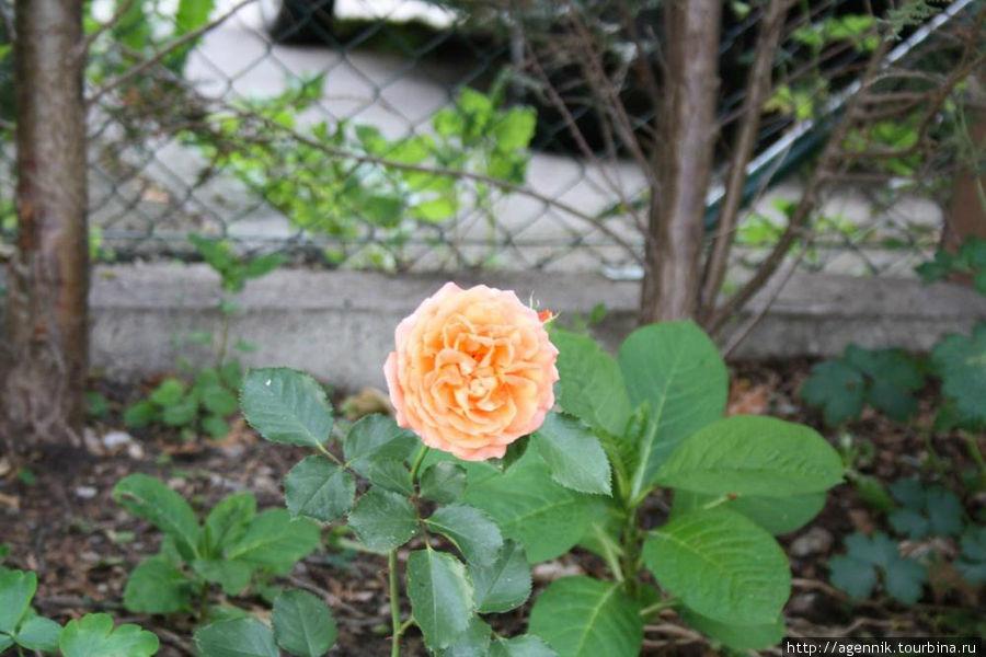 Множество роз на клумбах