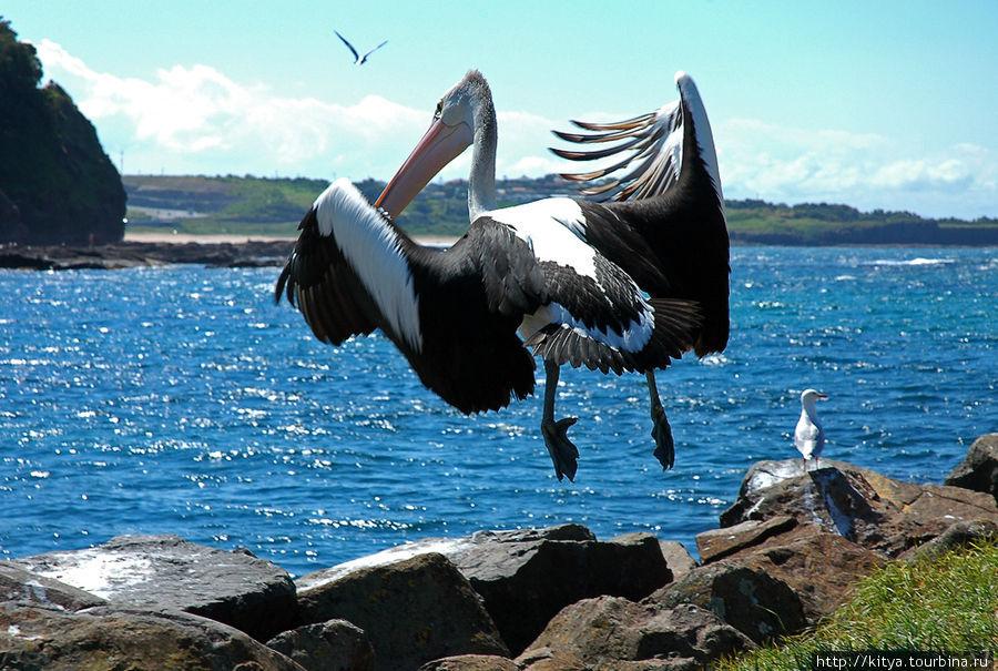 ...И пусть каждый, кто сказал, что пеликан не грациозен, попробует сделать так.