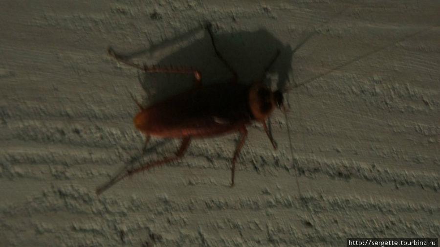 Это тоже на стене белало. Таракан 5 см. Но они не кусают. Они большие и добрые. Кусают мелкие типа наших.