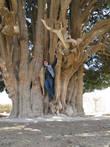 четырехтысячелетний кипарис в Абарку