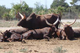 стадо буйволов ближе